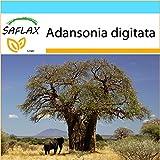 SAFLAX - Geschenk Set - Afrikanischer Affenbrotbaum - 6 Samen - Adansonia digitata