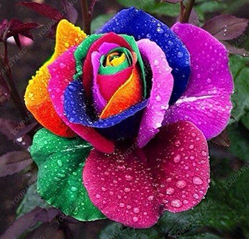 20 semi / pack i semi più raro arcobaleno luminoso rosa heirloom giardino bonsai indoor fioritura delle piante semi fragrante di fiori