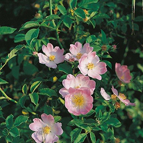 wildflower-dog-rose-100-seeds