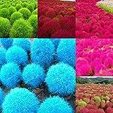 Cioler Seme di fiore-200pcs Semi di Kochia l'erba- Semi di piante bonsai Kochia pianta annuale piante ornamentali per il giardino di casa