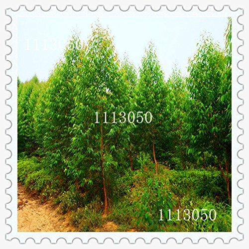 2016-nuevas-semillas-de-eucalipto-jardn-de-plantas-bonsai-semillas-50pcs-variedades-de-semillas-de-r