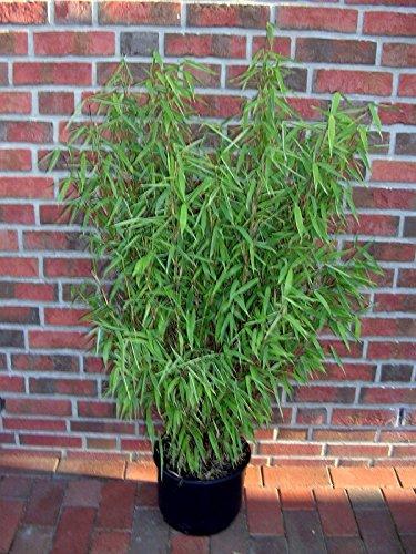 Bambus Sichtschutz Kubel