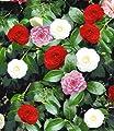 BALDUR-Garten Winterharte Garten-Kamelie 'Tricolor', 1 Pflanze Camellia japonica von Baldur-Garten bei Du und dein Garten