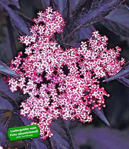 BALDUR-Garten Schwarzer Holunder 'Sambucus nigra', 1 Pflanze