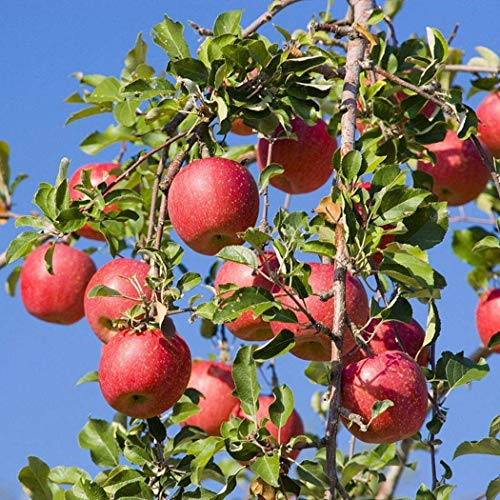 Apfel Domestica Cox's