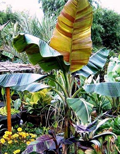 Future Exotics Musa Sikkimensis Red Tiger winterhart Banane frosthart