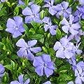 Immergrün Vinca minor Anna 9 cm Topf 10 Stück von Gartenbau Menke bei Du und dein Garten