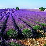Lavendel 30 Samen
