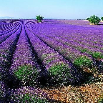 echter lavendel samen mehrj hrig winterhart bis 20c lavandula angustifolia lavender english. Black Bedroom Furniture Sets. Home Design Ideas