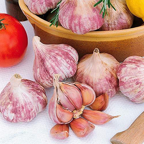 Qulista Samenhaus - 100pcs Raritäten Pflanzknoblauch Germidour, rosa, französischer Gemüse Samen winterhart mehrjährig