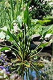 Weißer Froschlöffel / Alisma plantago-aquatica im 9x9 cm Topf