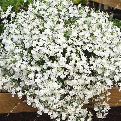 Bleu Fleur de Lin Graine vivace Fleur Graine Quatre Saisons Fleur plantes ornementales tropicales en plein air Bonsai Lin Semilla 100 Pcs 6
