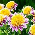 Gärtner Pötschke Anemonenblütige Dahlie Boogie Woogie von Gärtner Pötschke bei Du und dein Garten