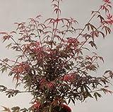Roter Fächer-Ahorn Shaina STAMM-Höhe wählbar [60 cm]