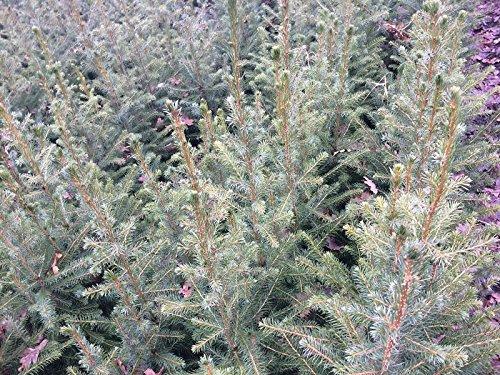 10 Stück Serbische Fichte – (Picea omorika), Topfware 15-25 cm. 3 jähr.