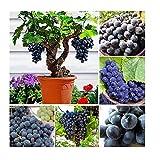 5x Zimmer Trauben Kernen Schwarze Traube Vitis vinifera Samen #422