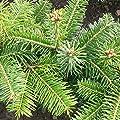 25 Stück Nordmanntanne Ambrolauri - (Abies nordmanniana Ambrolauri)Wurzelware 10-15 cm- 3 jährig von Pflanzen-Discounter24.de - Du und dein Garten