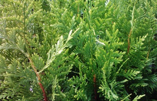 Thuja Green Giant Arborvitae Fast Growing 3 inch pot ~Lot of 2 live plants~ by Sandys Nursery Online