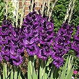 Easy Gardening Purple Flora Gladiolus Flower Bulbs - High Flowering (Pack of 6 Healthy Bulbs)