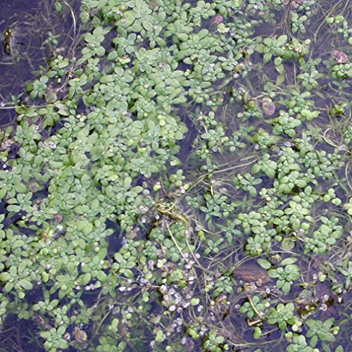 große Portion Wasserstern aus Naturteich tolle Teichpflanzen winterhart