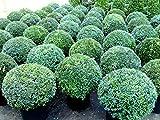 Buchsbaum Kugel, Durchmesser: 50-55 cm, Buxus
