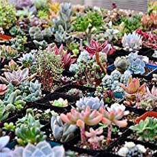 SRUSHTI TRADERS Succulents Seeds Rare Potted Plant Home Garden Decor