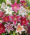 """BALDUR-Garten Lilien-Mix""""Parfum"""", 5 Zwiebeln Lilium duftend Blumenzwiebeln winterhart von Baldur-Garten auf Du und dein Garten"""