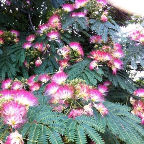Future Exotics Albizia julibrissin Seidenbaum Mimosengewächs - 30-40 cm winterhart