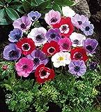 Willemse France 003880 Lot de 50 Plantes Anémones de Caen Multicolore, 17 x 17 x 20 cm