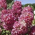 Rispenhortensie Diamont Rouge, 1 Pflanze von Amazon.de Pflanzenservice bei Du und dein Garten