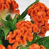 #6: Live Cockscomb Orange Flower Plant - Indoor & Outdoor Flower Plant