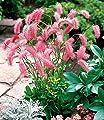 BALDUR-Garten Japan-Wiesenputzer Gras, 2 Knollen Sanguisorba von Baldur-Garten auf Du und dein Garten