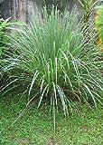 Tropica - 100 semi erba citronella (cymbopogon flexosus)-