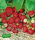 """Erdbeere """"Hummi® Neue Mieze"""", 6 Pflanzen"""