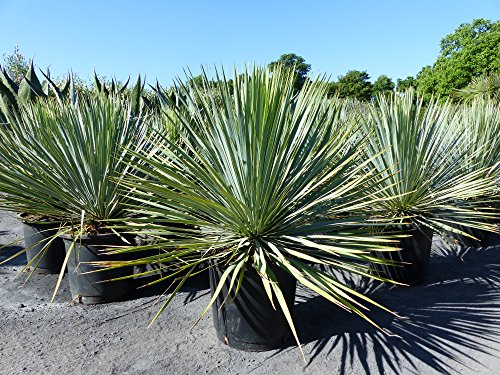 Yucca Rostrata XXL blaublättrig Palme 80 cm Kugel kugelrund, extra winterhart
