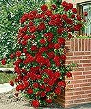"Rote Kletterrose - Rose ""Paul's Scarlet Climber"" - 50-60cm im 2Ltr. Topf …"