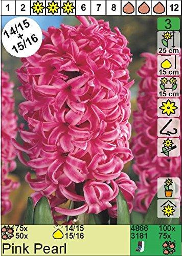 """Hyazinthe – Hyacinthus orientalis"""" Pink Pearl"""" (3)"""