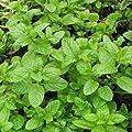 lichtnelke - Spearmint-Minze (Mentha spicata) Carmagnolaminze von Lichtnelke Pflanzenversand bei Du und dein Garten
