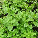 lichtnelke - Spearmint-Minze (Mentha spicata) Carmagnolaminze