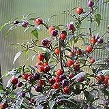 10 Samen Numex Centennial Chili – kleinbleibender Chili mit hohem Ertrag