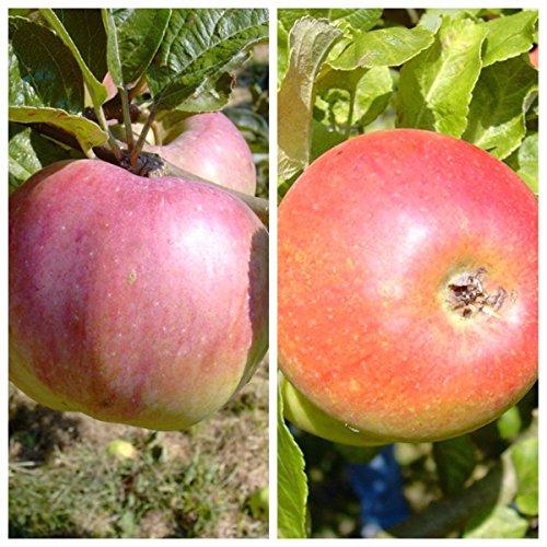 Grüner Garten Shop Duo Familien-Apfelbaum Ontarioapfel und Alkmene 2 Sorten-Apfelbaum 120-150 cm 10 Liter Topf M26