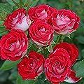 Kordes Rosen Beetrose, Schöne Koblenzerin, rot / crème weiß, 12 x 12 x 40 cm, 277-31 von W. Kordes' Söhne - Du und dein Garten