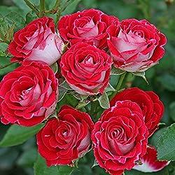Kordes Rosen Beetrose, Schöne Koblenzerin, rot/crème weiß, 12 x 12 x 40 cm, 277-31