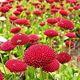 Semillas rojas de la margarita inglesa - Bellis perennis