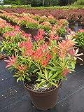 Pieris japonica Forest Flame - japanische Lavendelheide Forest Flame