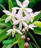 BALDUR-Garten Duft-Clematis 'Armandii' Waldrebe winterhart, 1 Pflanze Klematis mehrjährige blühende Kletterpflanzen