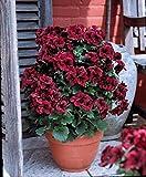 Best choclates - 3 Géraniums à grandes fleurs 'Régalia Choclate Review
