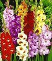 BALDUR-Garten Gladiolen-Mischung,100 Zwiebeln Gladiolus 100 Stück zum Sonderpreis von Baldur-Garten auf Du und dein Garten