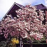 Dominik Blumen und Pflanzen, Tulpenmagnolie, Magnolia x soulangiana, rosa blühend, 1 Pflanze,  3-4 triebig, 40 - 60 cm hoch, 3 Liter Container, plus 1 Paar Handschuhe gratis