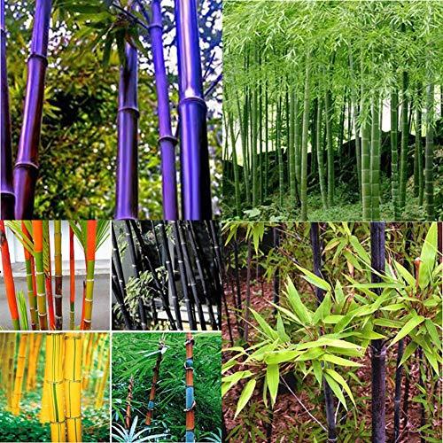Go Garden 100pcs bambou noir Graines: 100 Ã- Noir Violet Vert Phyllostachys pubescens Moso-bambou Graines Plantes Sanwood